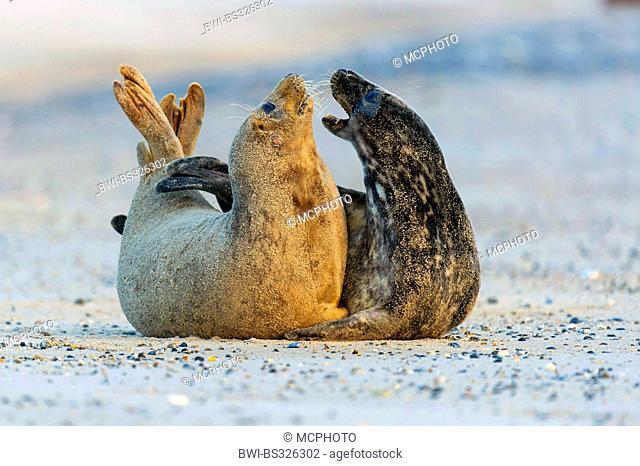 gray seal (Halichoerus grypus), zwo individuals communicating, Germany, Schleswig-Holstein, Heligoland