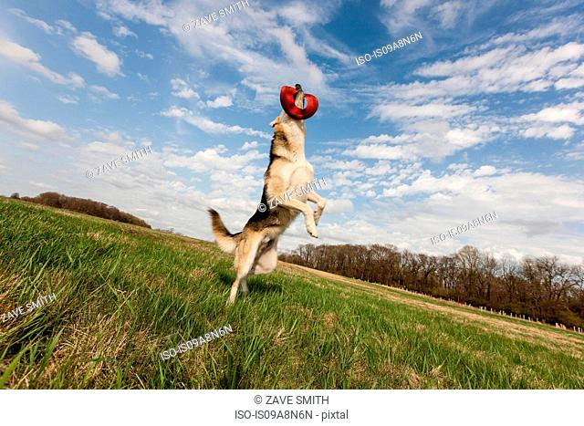 Alsatian dog leaping up to catch frisbee