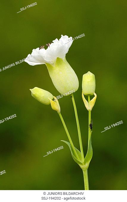 Sea Campion (Silene uniflora), flowering stalk. Germany