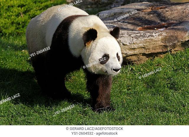 Giant Panda, ailuropoda melanoleuca, Asia