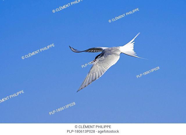 Arctic tern (Sterna paradisaea) in flight against blue sky, Shetland Islands, Scotland, UK