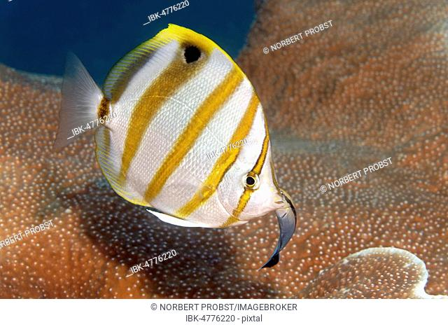 Sixspine butterflyfish (Parachaetodon ocellatus) with Bluestreak cleaner wrasse (Labroides dimidiatus), Great Barrier Reef, Pacific, Australia