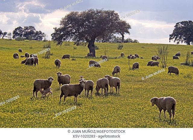 Oak pasture with sheep. Natural Park of Aracena and Picos de Aroche. Huelva. Andalucia. Spain