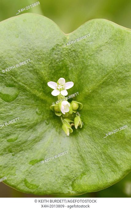 Montia perfoliata, close up of Winter Purslane flower