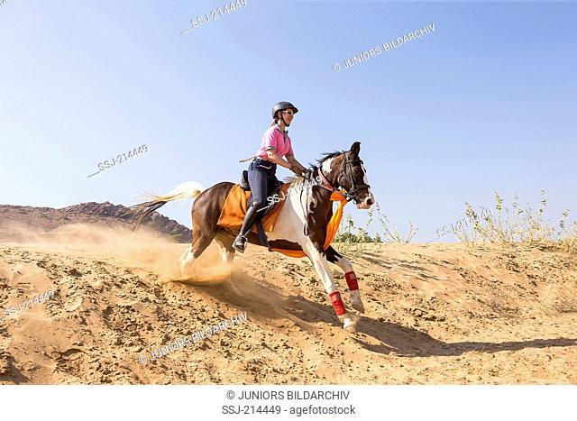 Marwari Horse. Rider on skewbald mare galloping in the desert. Rajasthan, India