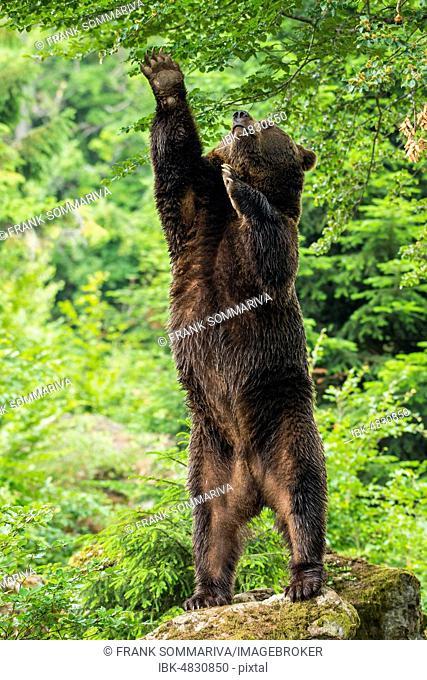 European Brown bear (Ursus arctos), standing upright on rocks, reaching for leaves, Bavarian Forest National Park, Bavaria, Germany