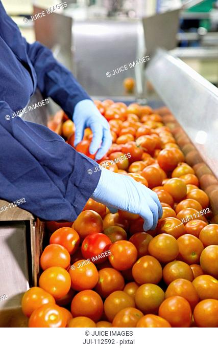 Quality control worker sorting ripe red tomatoes on production line in food processing plant