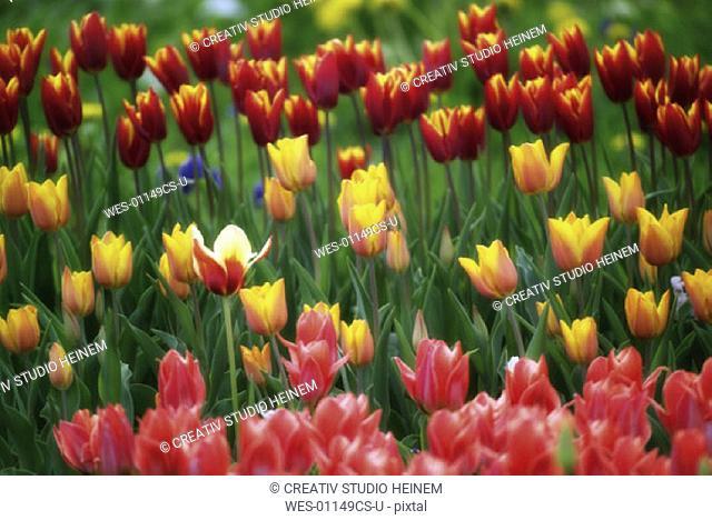 Tulip field Tulipa gesneriana