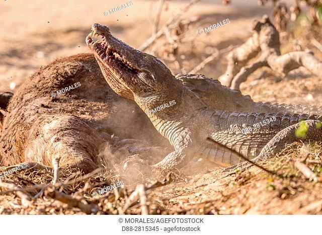 Sri Lanka, Yala national park, Carrion of a joung wild water buffalo or Asian buffalo (Bubalus arnee), eaten by a Mugger Crocodile or Indian Marsh Crocodile...