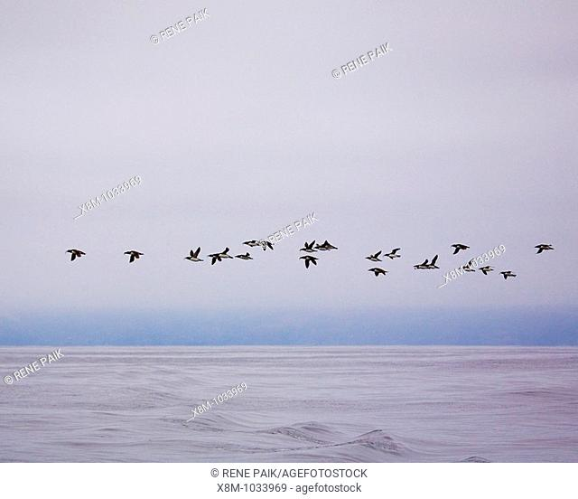 A flock of Common Murre Uria aalge in flight over the Pacific Ocean, off the coast of California, after fishing in the open ocean