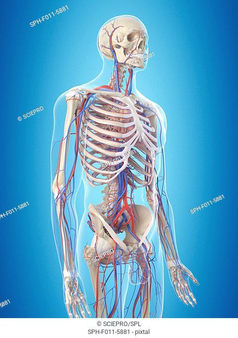 Human vascular system, computer illustration