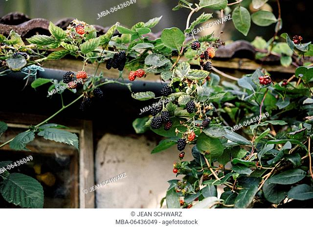 Blackberries in the shed