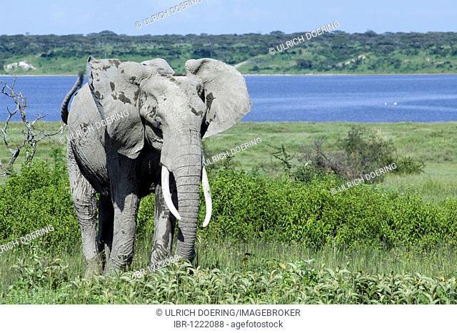 African Bush Elephant (Loxodonta africana) spreading ears in threat display, Lake Ndutu, Ngorongoro, Tanzania, Africa