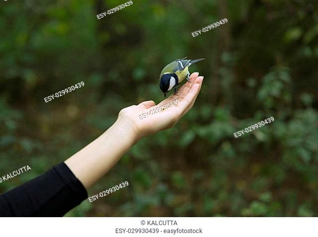Chickadee Eats with Palms, Bird perched on a Woman's Hand and Eating bird seed on a Blurred Green Forest Background. Close-up. Walk in the Woods