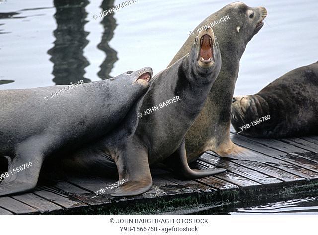 CALIFORNIA SEA LION Zalophus californianus males barking on dock at Newport Harbor, central coast, Oregon, USA