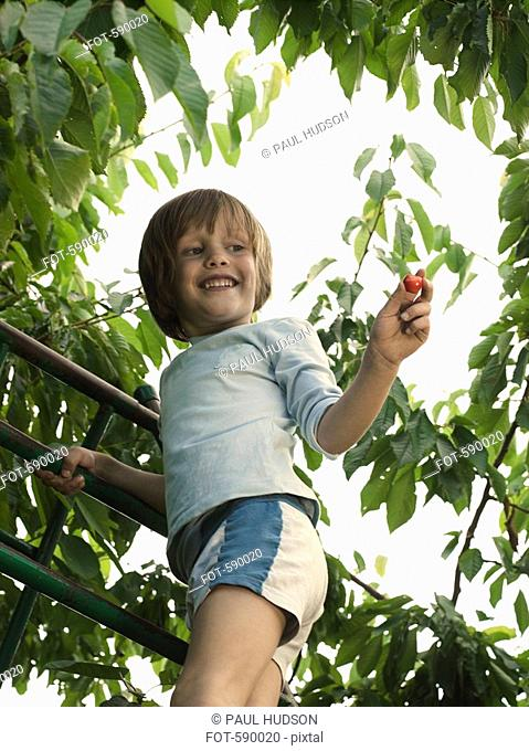 A boy picking cherries from a tree