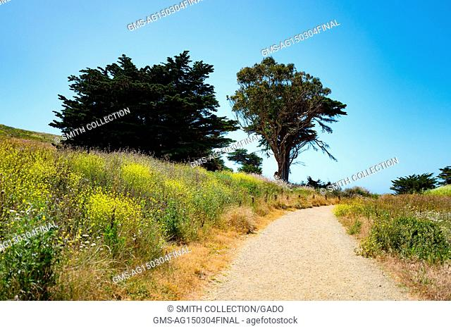 Cypress trees grow among wildflowers on Old Mori Trail at Mori Point, part of the Golden Gate National Recreation area, in Pacifica, California, June 20, 2017