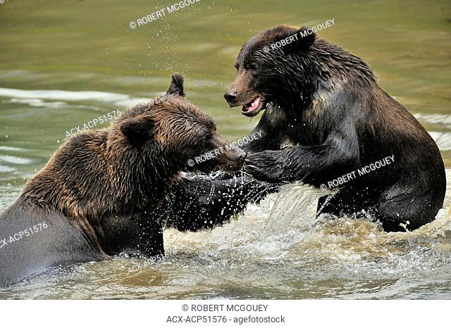 A wild adult mother grizzly bear Ursus arctos being playfully aggressive with her juvenile cub in the waters of Fish Creek in the Tongass National Forest of...