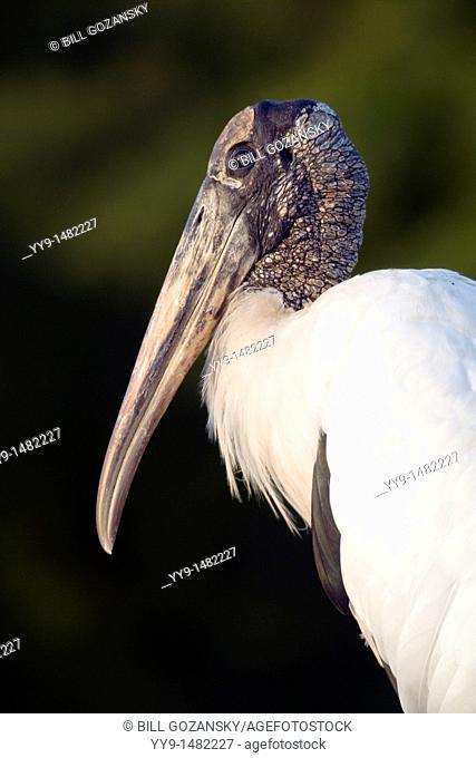 Wood Stork - Green Cay Wetlands - Delray Beach, Florida USA
