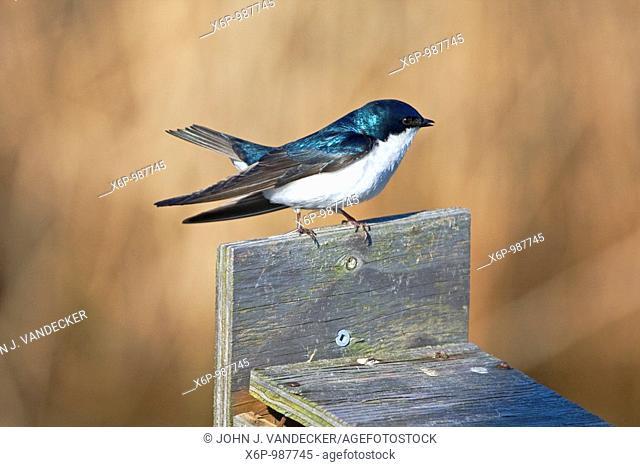Tree Swallow, Tachycineta bicolor, on top of a birdbox. New Jersey Meadowlands, Richard DeKorte Park, Lyndhurst, NJ, USA