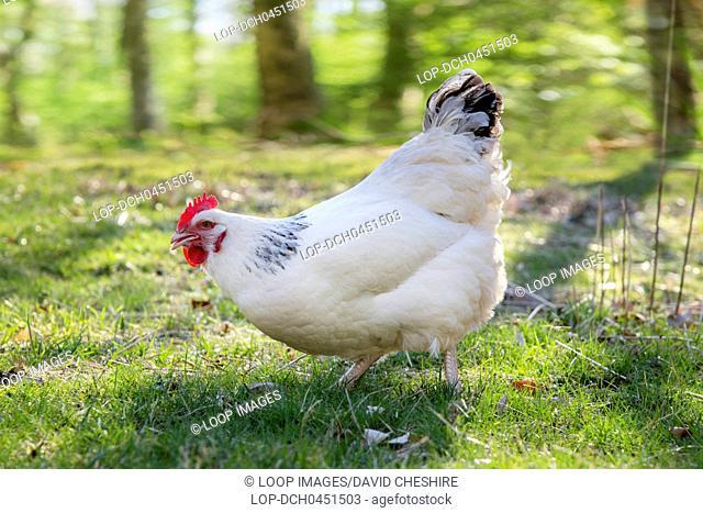 White Sussex cross hen