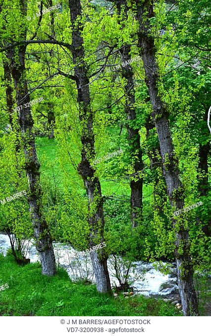Black poplar (Populus nigra) is a deciduous tree native to central and south Europe, northwest Africa and central and western Asia