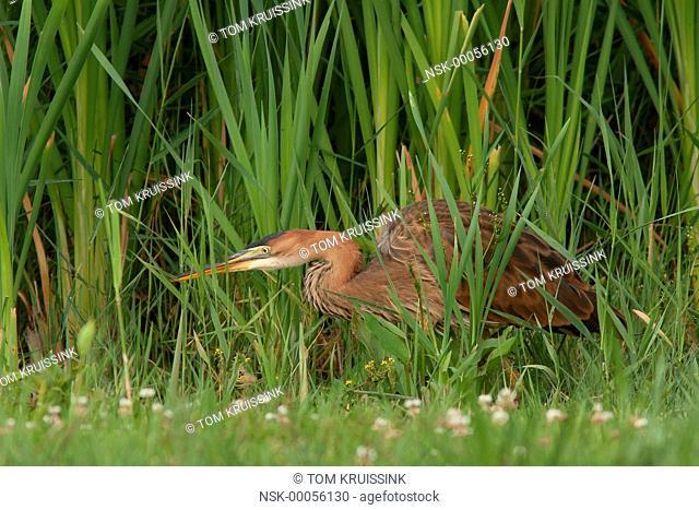 Purple Heron (Ardea purpurea) looking for food, the Netherlands, Flevoland, Lelystad, Oostvaardersplassen