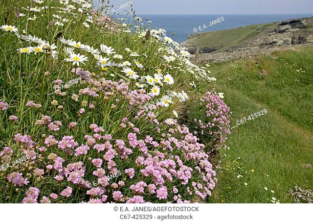 Thrift. Oxeye daisies. Tintagel Head. North Cornwall. England. UK