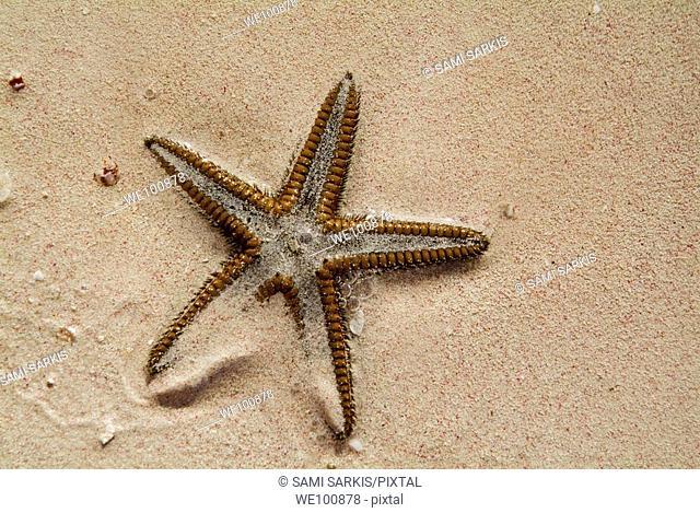 Starfish partially buried in white sand, Cayo Jutias, Cuba