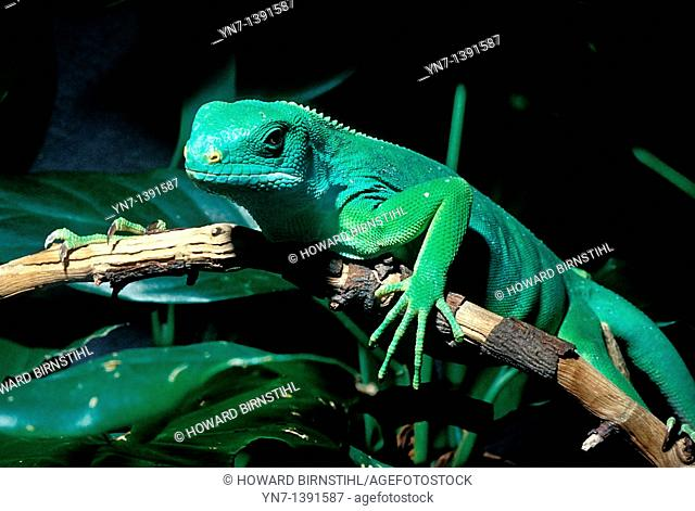 Close up of a green iguana Iguana iguana creeping along the branch of a rainforest tree