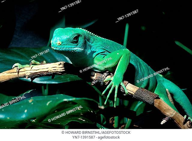 Close up of a green iguana Iguana iguana creeping along the branch of a rainforest tree