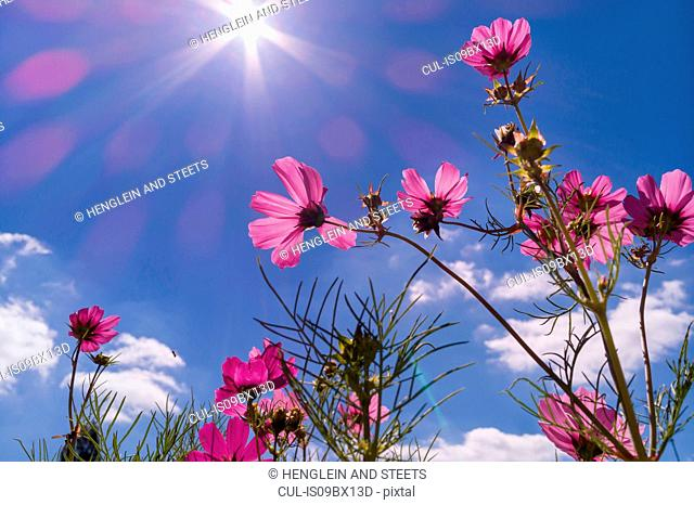 Cosmos bipinnatus against blue sky