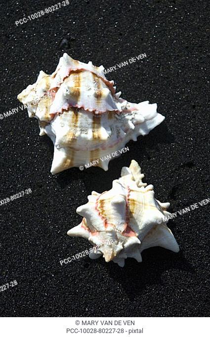 Two shells on black sand beach