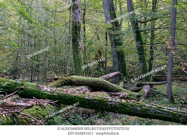 Broken trees in autumnal natural deciduous forest, Bialowieza Forest, Poland, Europe