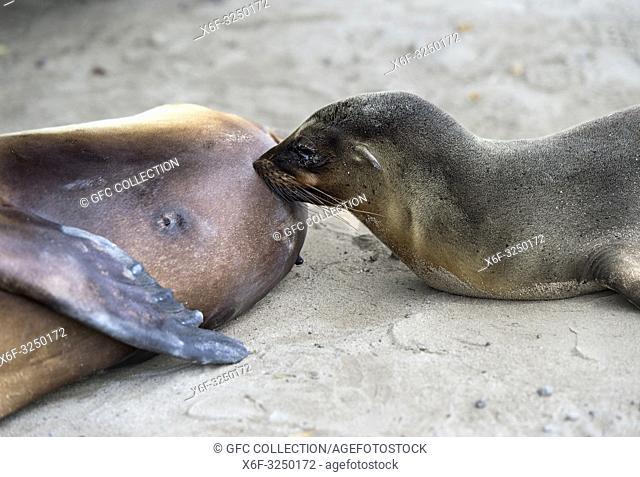Säugendes Jungtier, Galapagos Seelöwe (Zalophus wollebaeki), Familie der Ohrenrobben (Otariidae) endemische Art in Galapagos, Insel Isabela, Galapagos Inseln