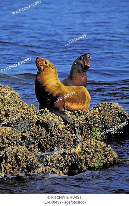 Steller Sea Lions  Pacific Coast  British Columbia,Alaska  Eumetopias jubatus