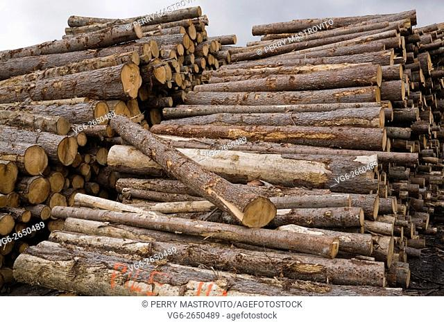 Piles of freshly cut pine (Pinus) timber logs at a lumber mill, Quebec, Canada