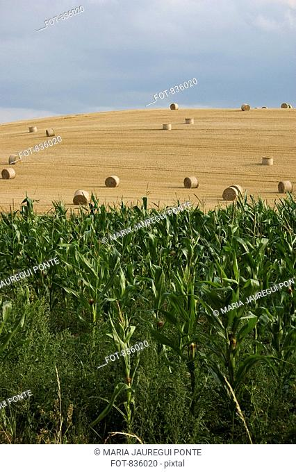 Corn crops and hay bales in a field