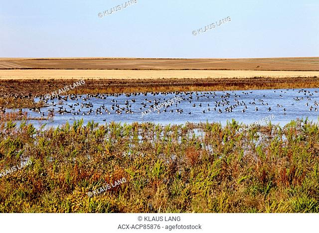 White Fronted Geese, anser albifrons,, Lake, Prairies, near Leader, Sask