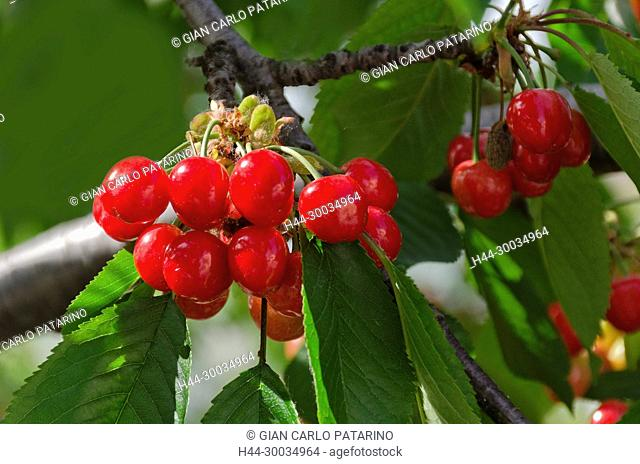 Branches of cherries