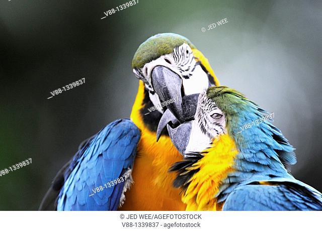A pair of Blue-and-yellow Macaws aka Blue-and-gold Macaws (Ara ararauna), Jurong Bird Park, Singapore