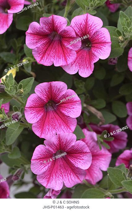 Petunia Petunia multiflora Germany Europe