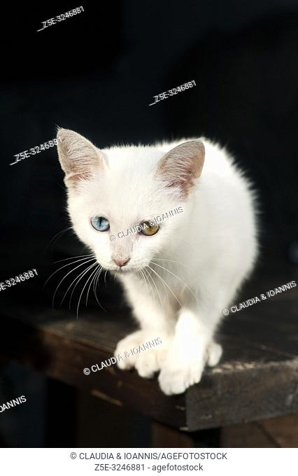 A beautiful white odd eyed kitten sitting on a table and looking at camera