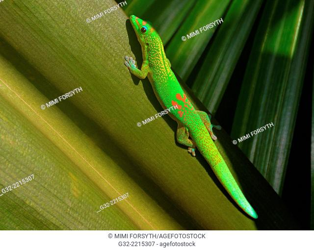 God Dust Day Gecko (Phelsuma laticauda laticauda), native to Madagascar, photographed in Hawai'i