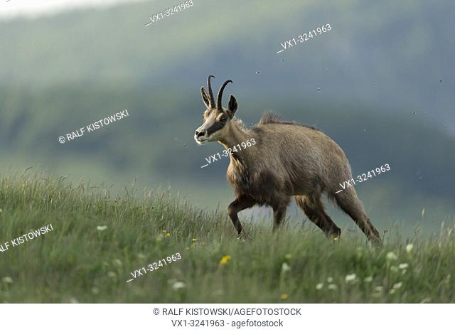 Alpine Chamois / Gaemse ( Rupicapra rupicapra ) walking uphill, on green alpine meadow, for forage, in beautiful surrounding