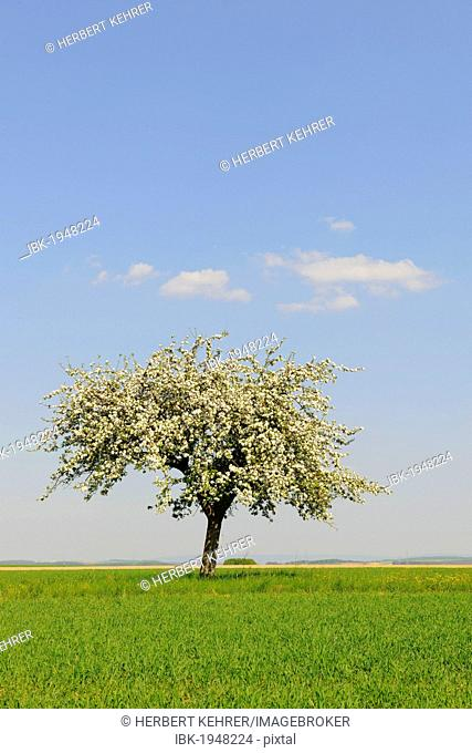 Blooming Apple tree (Malus) in spring