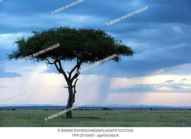 tree in savannah with rain clouds at dusk, Masai Mara, Kenya
