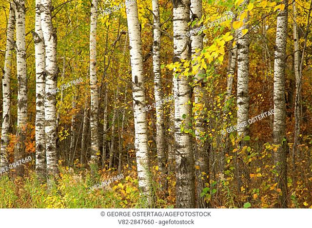 Birch, Crex Meadows Wildlife Area, Wisconsin