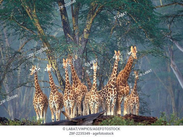 Reticulated Giraffe, Kenya