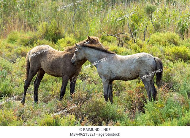 Camargue Horse, Foal, Parc naturel régional de Camargue, Languedoc Roussillon, France